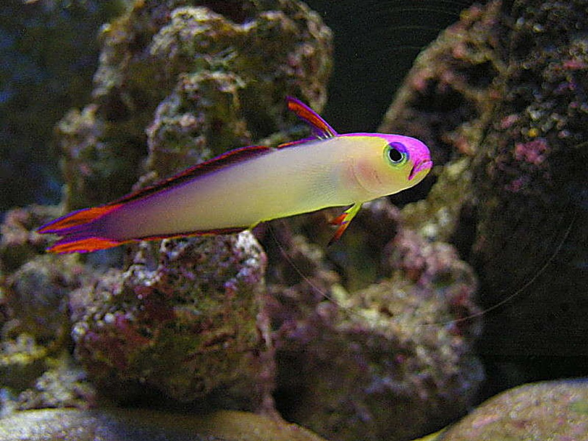 saltwater fish - nemateleotris decora - firefish, purple stocking in 55 gallons tank - Purple Firefish - Otherwise known as Decorated Dartfish or Purple Firetailed Goby. (Nemateleotris Decora).
