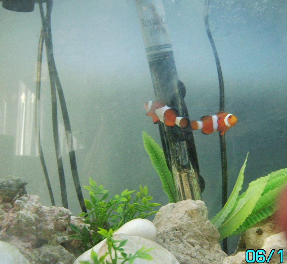 saltwater fish - amphiprion percula - true percula clownfish stocking in 10 gallons tank - my first marine tank work in progress only 3 weeks old