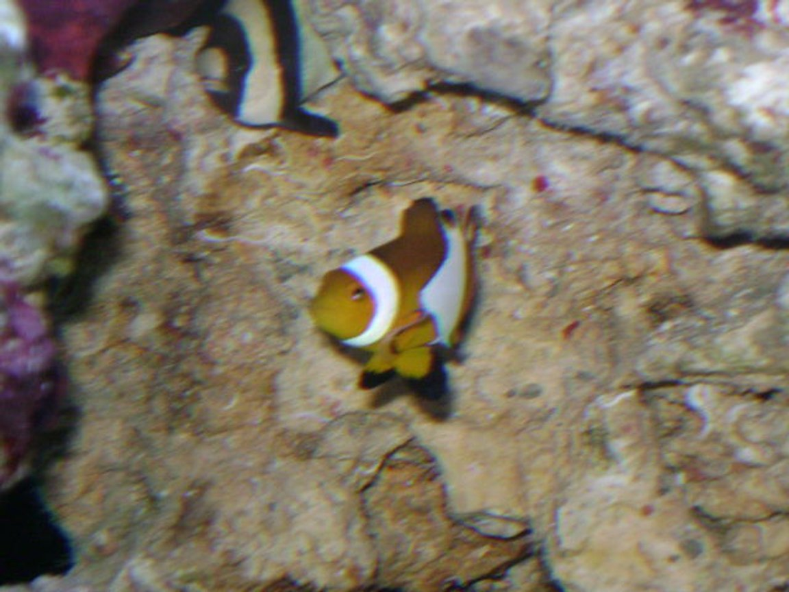 saltwater fish - amphiprion percula - true percula clownfish stocking in 24 gallons tank - Strip Damsel mad dogging Nemo...