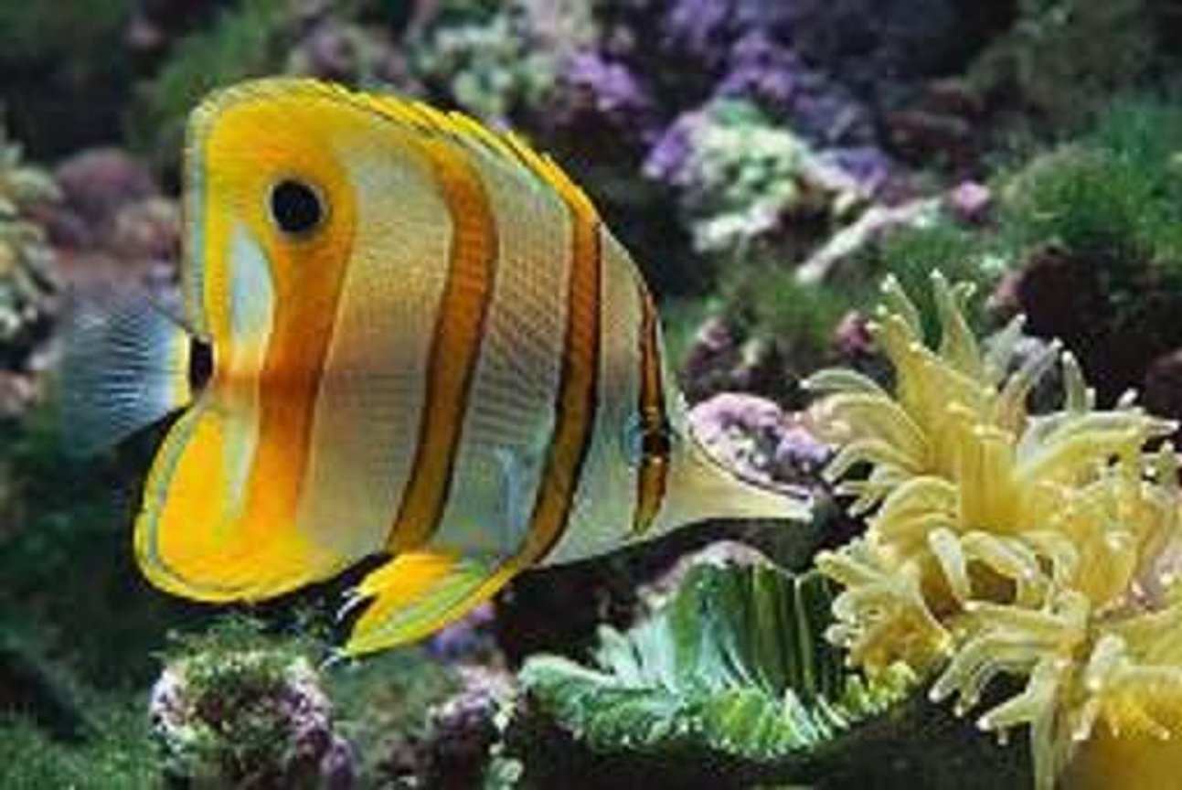 saltwater fish - chelmon rostratus - copperband butterflyfish stocking in 125 gallons tank - mr fishy