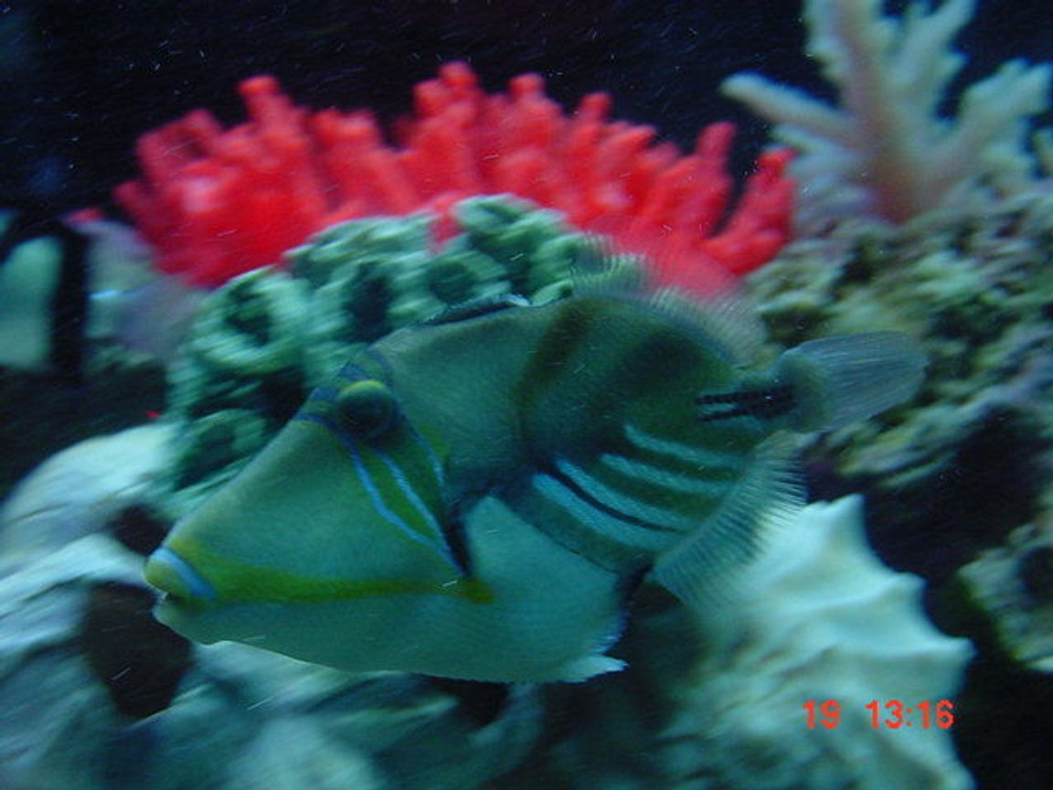 saltwater fish - rhinecanthus aculeatus - humu picasso triggerfish stocking in 55 gallons tank - My huma trigger.