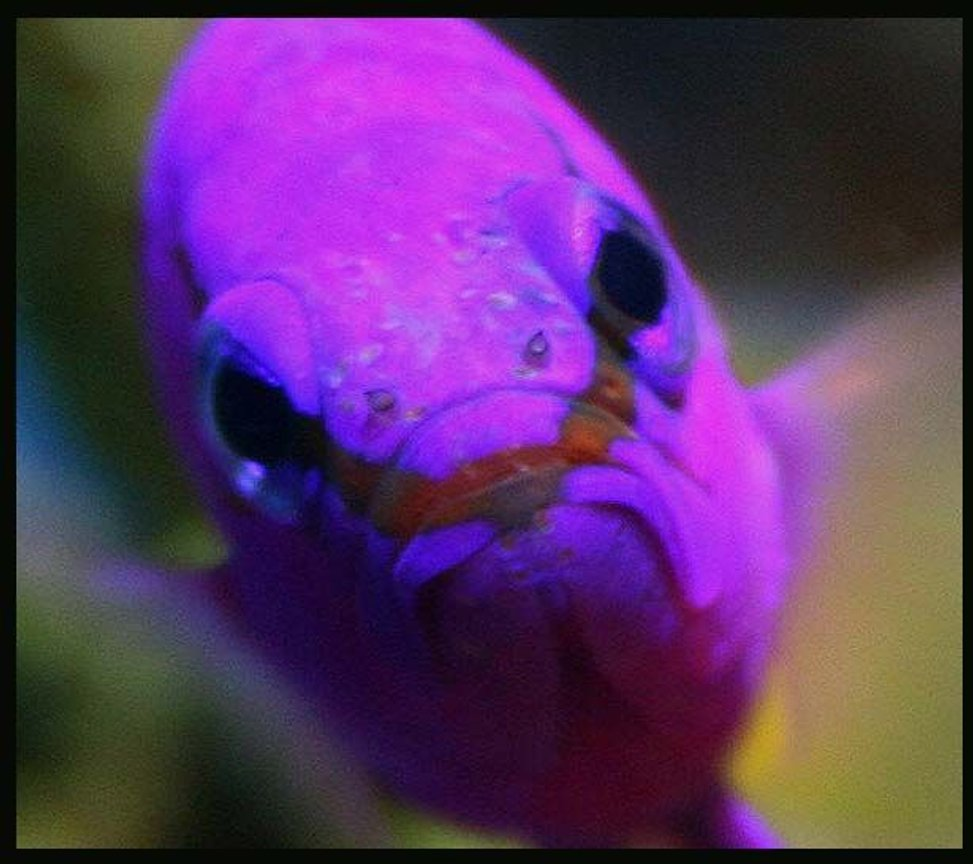 saltwater fish - gramma loreto - royal gramma basslet stocking in 35 gallons tank - Griffin the Grammer