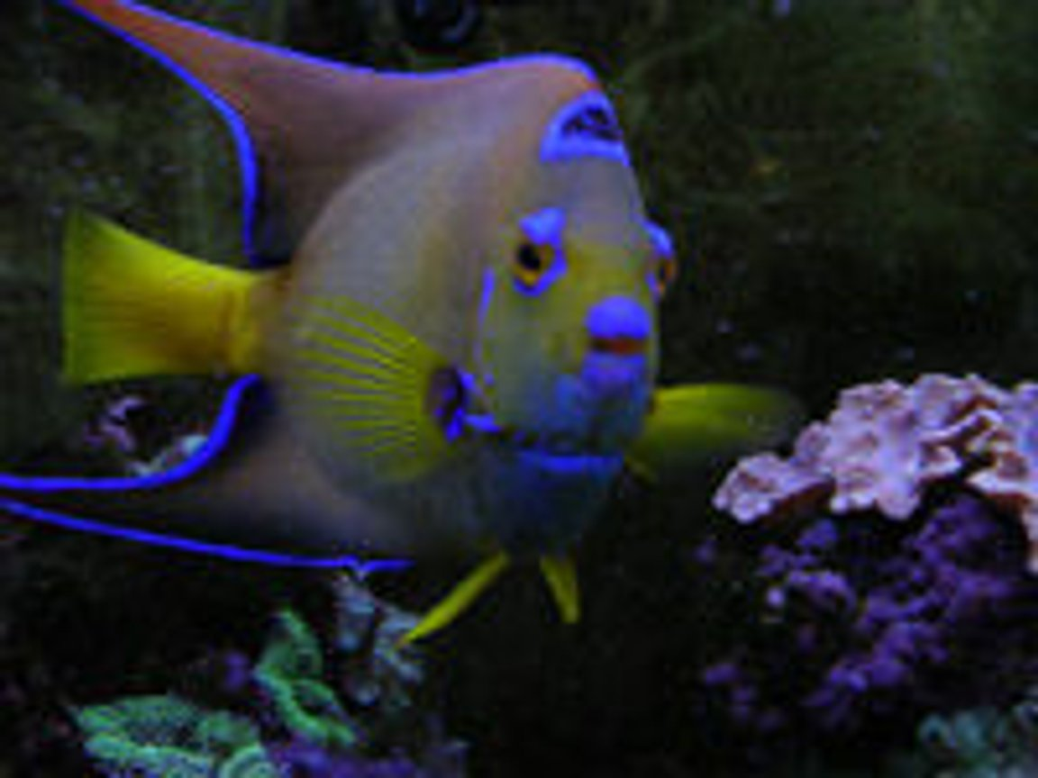saltwater fish - holacanthus ciliaris - queen angelfish stocking in 55 gallons tank - 6 year old Queen Angel. She died after we had the heat wave. She was almost 10 years old! It was a tragic event that almost wiped out my entire reef tank.