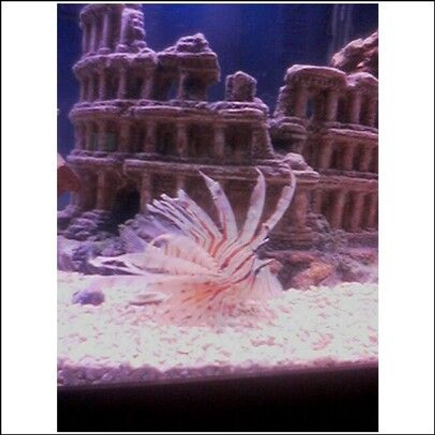 saltwater fish - pterois volitans - volitan lionfish stocking in 75 gallons tank - Lion Fish