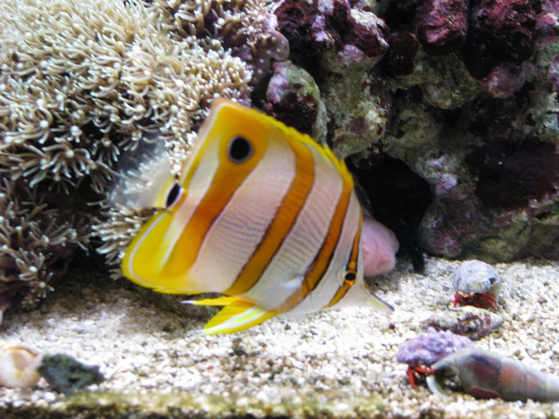 saltwater fish - chelmon rostratus - copperband butterflyfish stocking in 75 gallons tank - Copperband butterfly