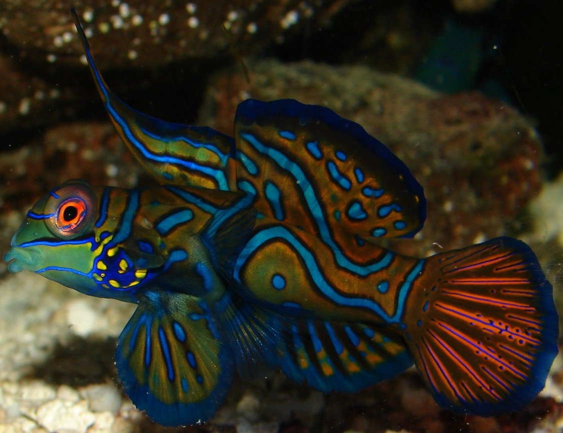 saltwater fish - pterosynchiropus splendidus var. - red mandarin stocking in 29 gallons tank - My dude!