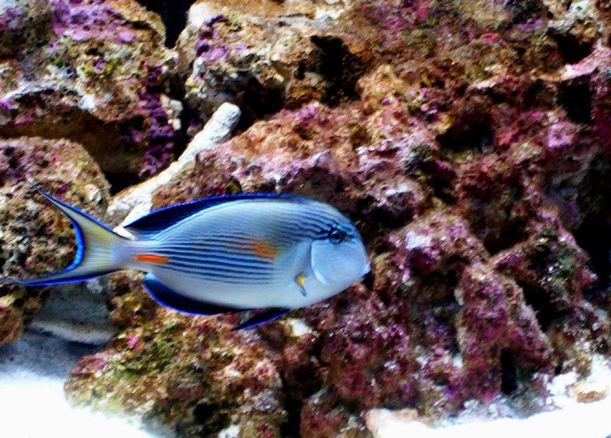 saltwater fish - acanthurus sohal - sohal tang stocking in 55 gallons tank - my sohal tang