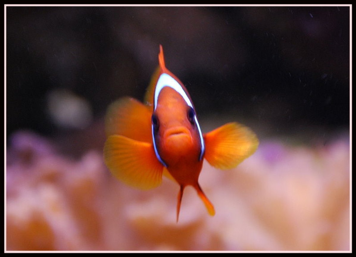 saltwater fish - amphiprion frenatus - tomato clownfish stocking in 125 gallons tank - Tomato Clown