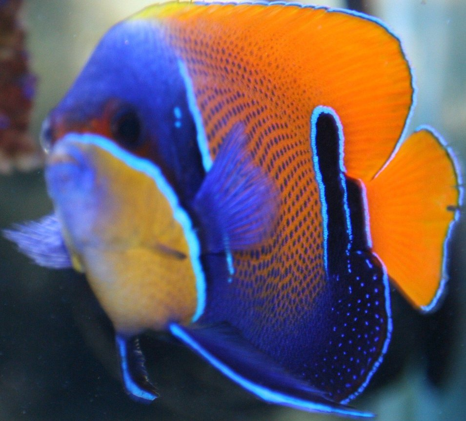 saltwater fish - euxiphipops navarchus - blue girdled angelfish stocking in 65 gallons tank - Majestic