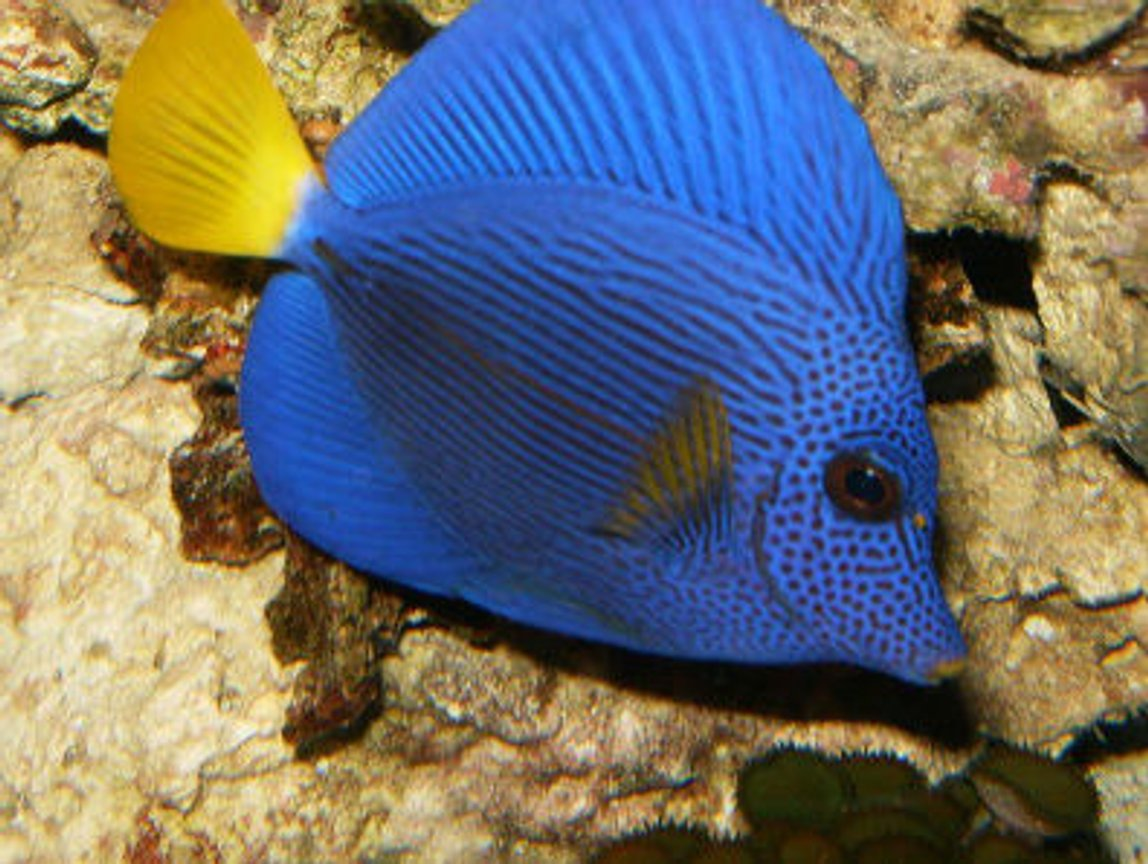 saltwater fish - zebrasoma xanthurum - purple tang stocking in 72 gallons tank - My purple tang swimming about.