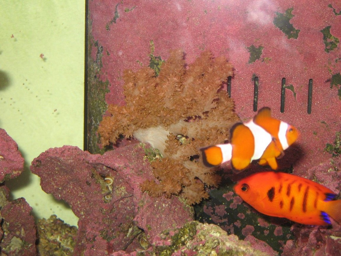 saltwater fish - amphiprion ocellaris - ocellaris clownfish stocking in 125 gallons tank - Finger Leather