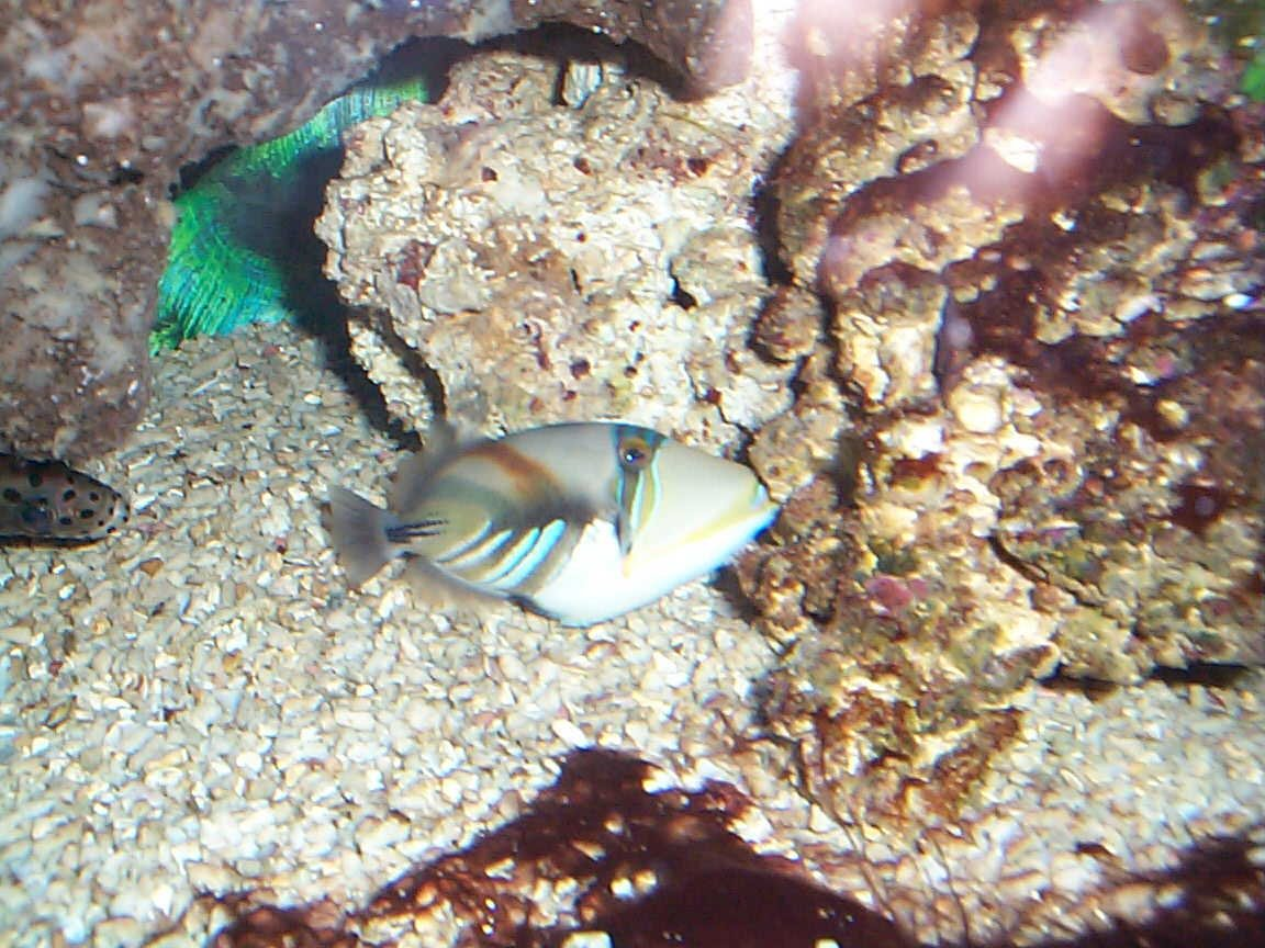 saltwater fish - rhinecanthus aculeatus - humu picasso triggerfish stocking in 90 gallons tank - triggers
