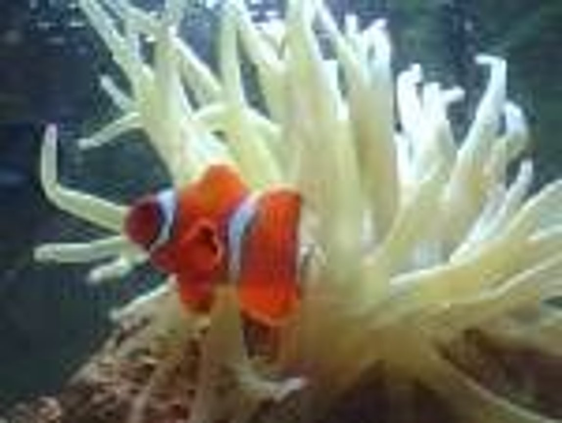 saltwater fish - amphiprion clarkii - clarkii clownfish stocking in 56 gallons tank - MY NEMO