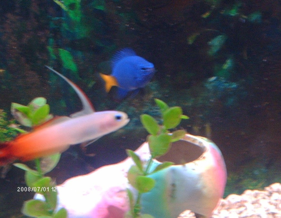 saltwater fish - nemateleotris magnifica - firefish stocking in 75 gallons tank - my yellow tailed damsel and my fire fin goby
