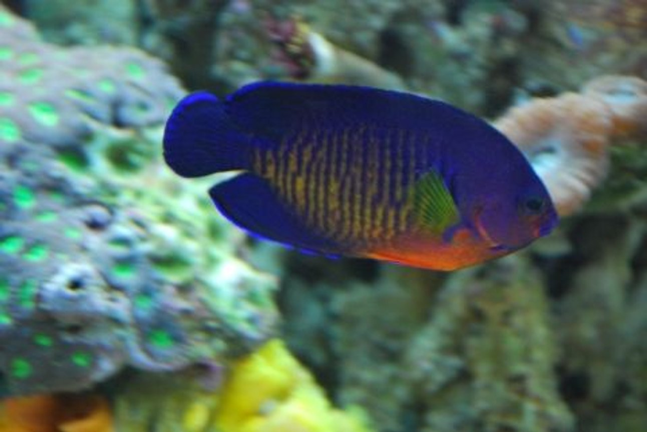 saltwater fish - centropyge bispinosa - coral beauty angelfish stocking in 60 gallons tank - Coral Beauty