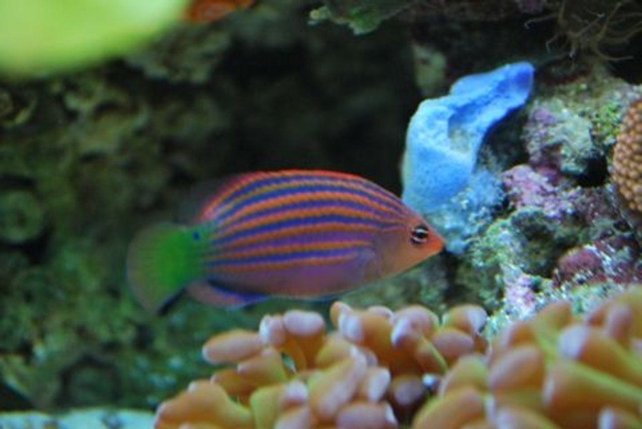 saltwater fish - pseudocheilinus hexataenia - six line wrasse stocking in 60 gallons tank - Six line wrasse