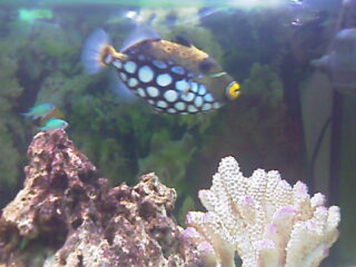saltwater fish - balistoides conspicillum - clown triggerfish stocking in 75 gallons tank - Buddy,my clowntrigger.