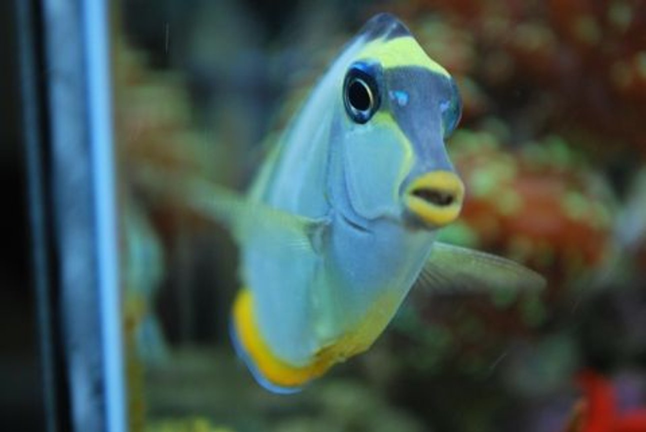 saltwater fish - acanthurus leucosternon - powder blue tang stocking in 60 gallons tank - He has his own little personailty - It's great (IF YOU DO NOT LIKE OUR PICTURES THEN YOU DO NOT HAVE TO LOOK AT THEM, BUT VOTING 0 IS VERY NEGATIVE ON YOUR PART) PLEASE JUST MOVE ON - THANKS!!!!