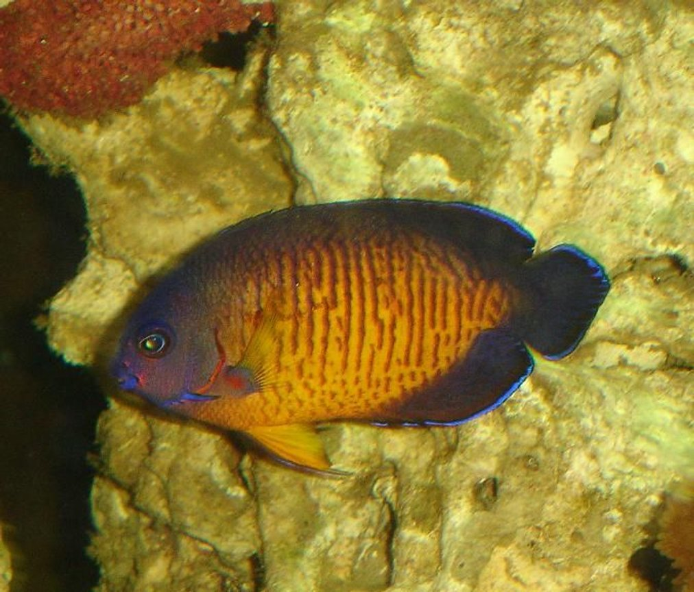 saltwater fish - centropyge bispinosa - coral beauty angelfish - Coral beauty, finaly got a picture of it.
