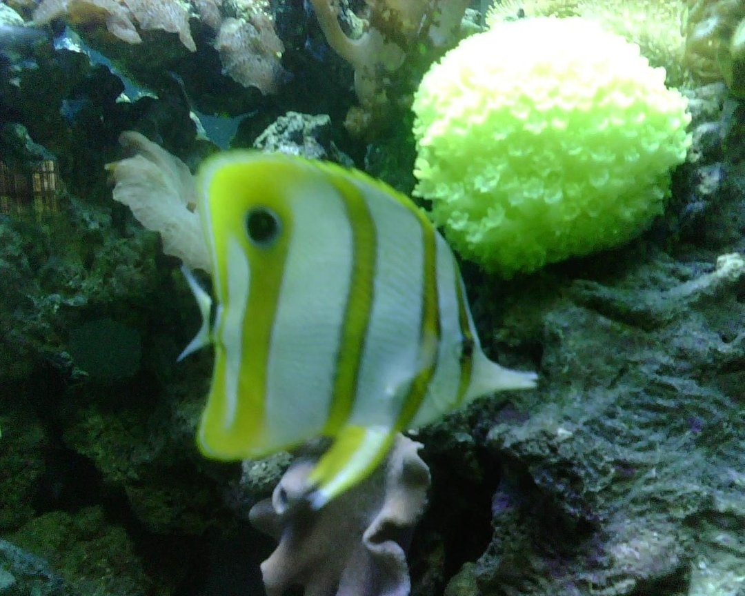 saltwater fish - chelmon rostratus - copperband butterflyfish stocking in 56 gallons tank - Copperband Butterfly