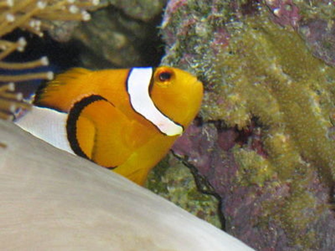saltwater fish - amphiprion percula - true percula clownfish stocking in 330 gallons tank - Dad with his 14th clutch this year :)