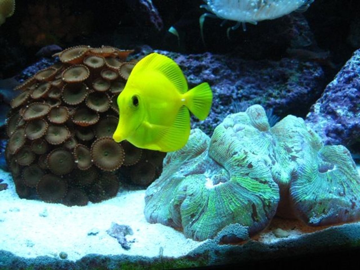 saltwater fish - zebrasoma flavescens - yellow tang - hawaii stocking in 46 gallons tank - Yellow Tang