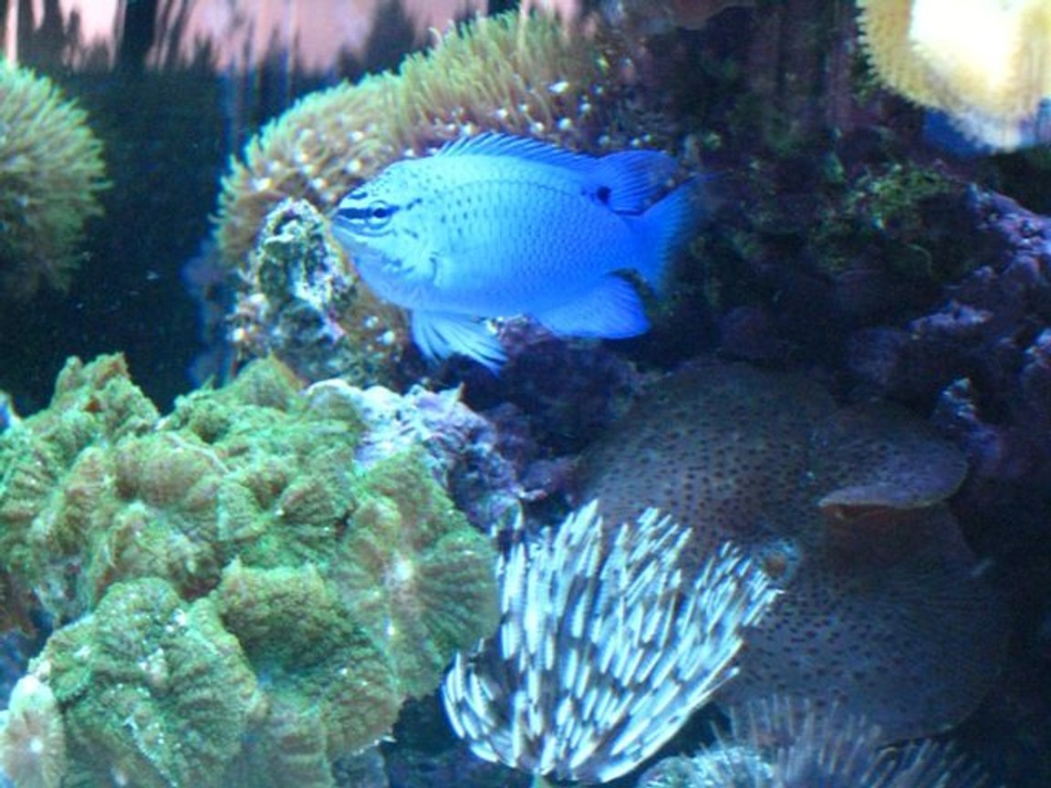 saltwater fish - chrysiptera cyanea - blue damselfish stocking in 46 gallons tank - Electric Blue Damsel