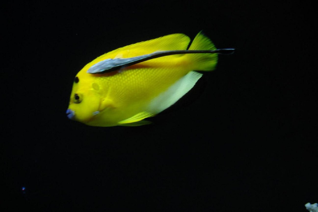 saltwater fish - apolemichthys trimaculatus - flagfin angelfish stocking in 300 gallons tank - Flagfin and Sucker