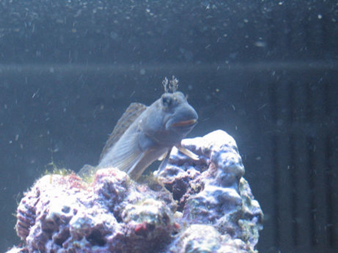 saltwater fish - enchelyurus flavipes - blue & gold blenny stocking in 70 gallons tank - My New Blenny. First fish in the tank.