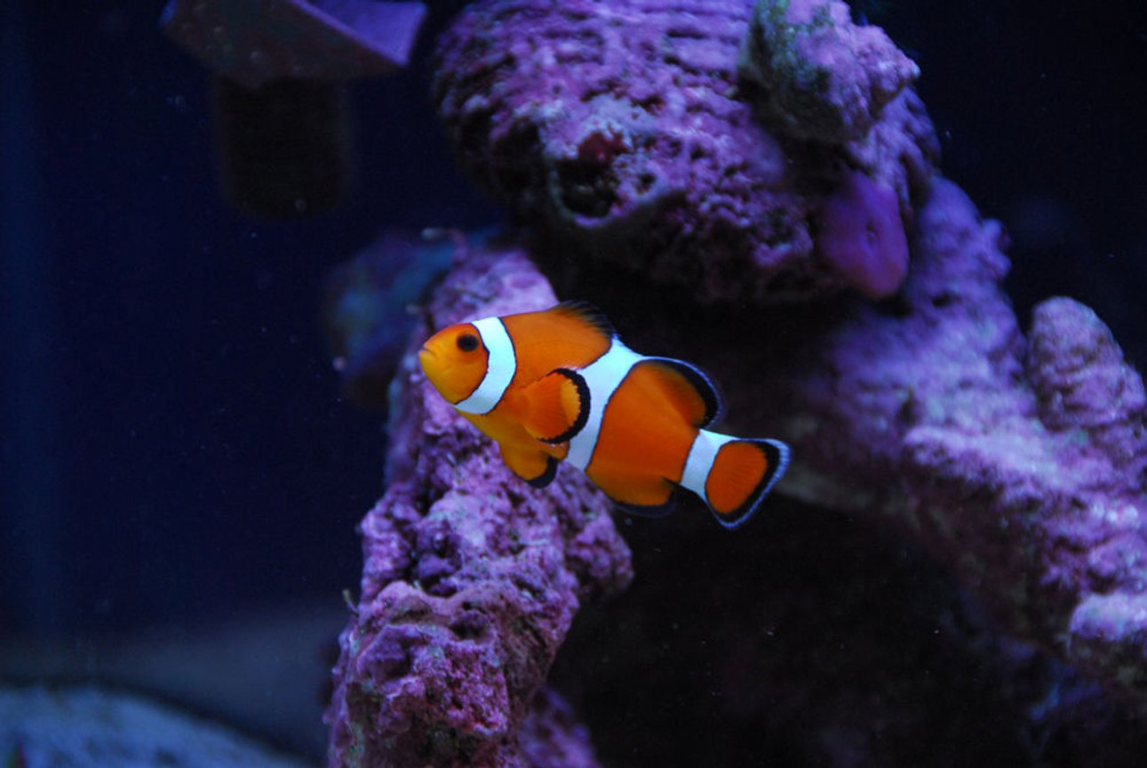 saltwater fish - amphiprion percula - true percula clownfish stocking in 20 gallons tank - Second clown fish.