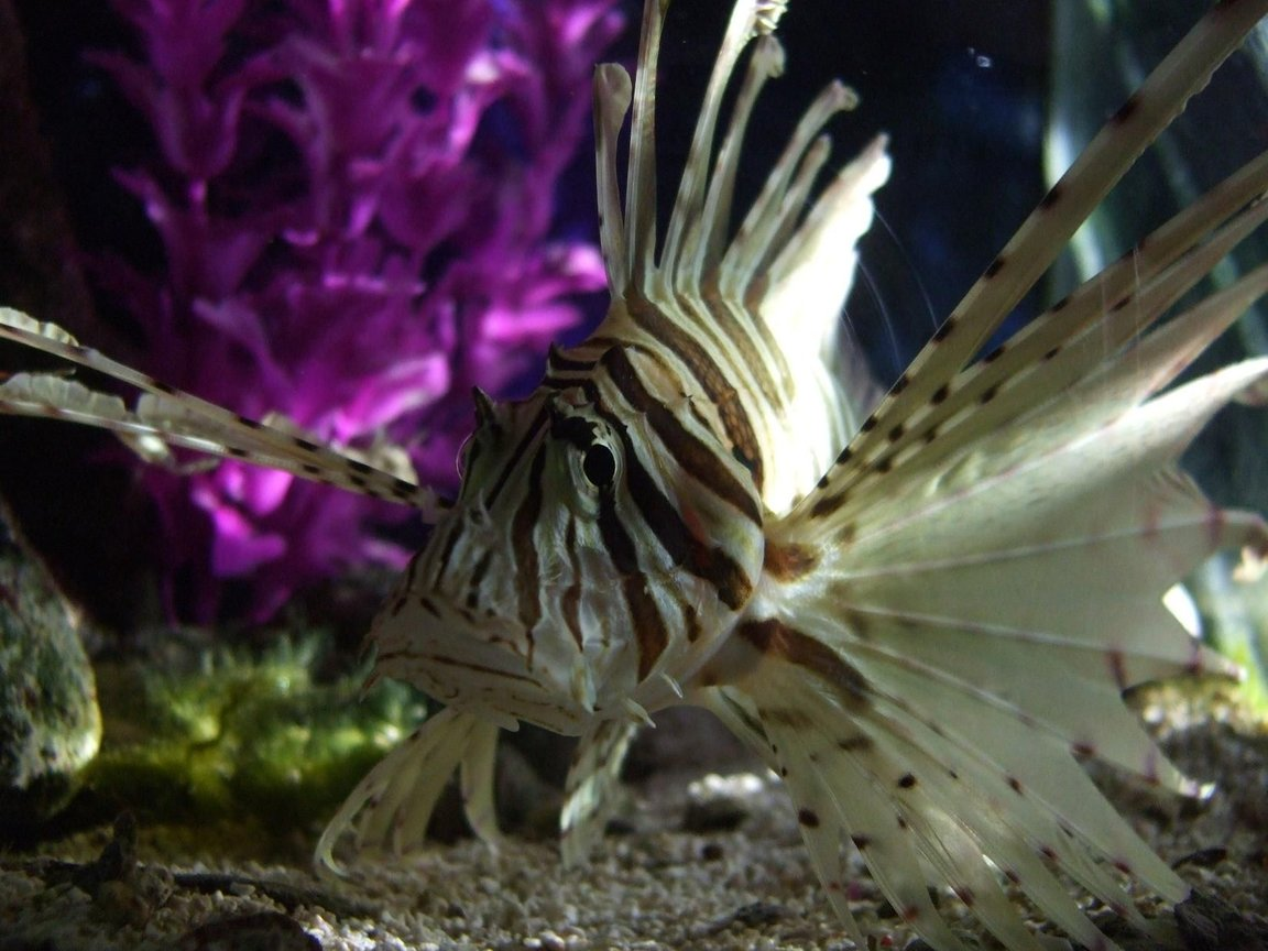 saltwater fish - pterois volitans - volitan lionfish stocking in 55 gallons tank - my red loin