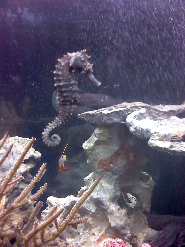 saltwater fish - hippocampus erectus - black seahorse stocking in 30 gallons tank - My female horse, Cookie (Short for 'Tough Cookie'- That she is!) with Mr.Narwhal in the background