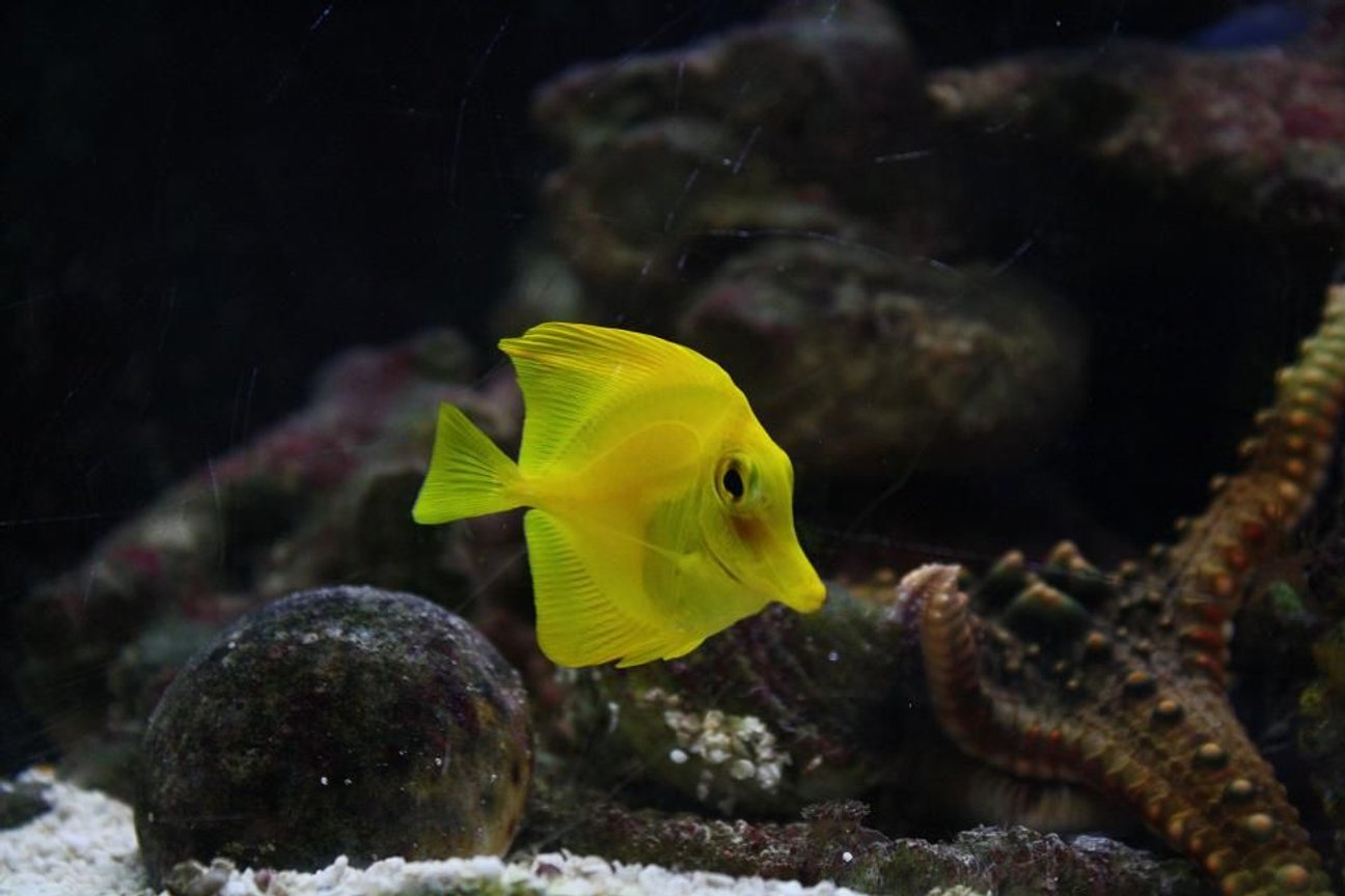 saltwater fish - zebrasoma flavescens - yellow tang - hawaii stocking in 29 gallons tank - yellow tang A.K.A- BuBbLes RIP