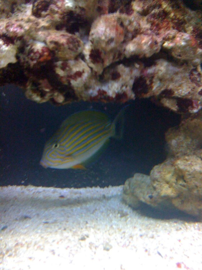 saltwater fish - acanthurus lineatus - clown tang stocking in 43 gallons tank - this is clowny my clown tang !