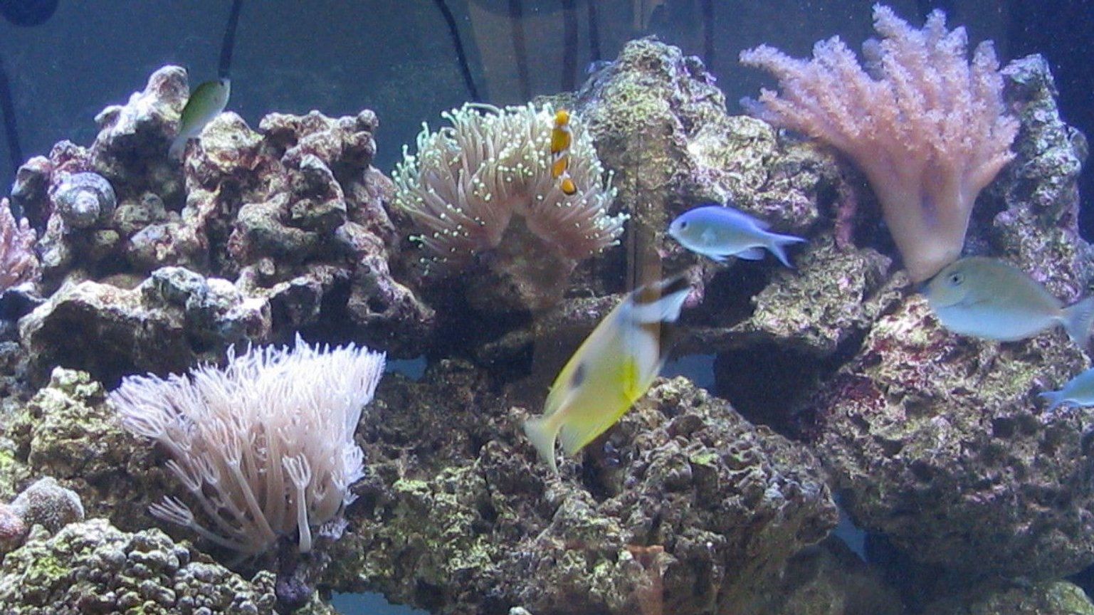 saltwater fish - chromis viridis - blue/green reef chromis stocking in 500 gallons tank - Half of tank due to file size... 3 months