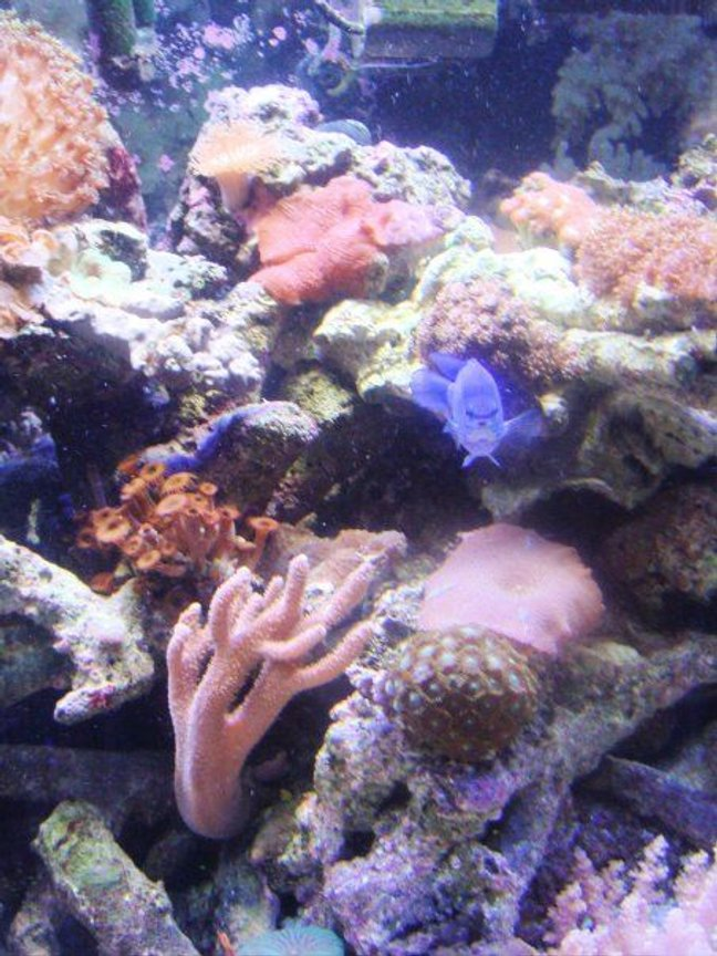 saltwater fish - chrysiptera cyanea - blue damselfish stocking in 46 gallons tank - the blue damsel is a ham