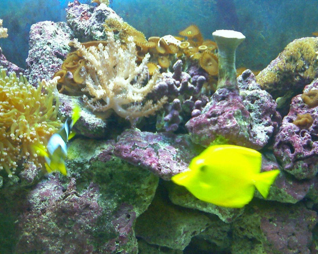 saltwater fish - zebrasoma flavescens - yellow tang - hawaii stocking in 55 gallons tank - yellow tang