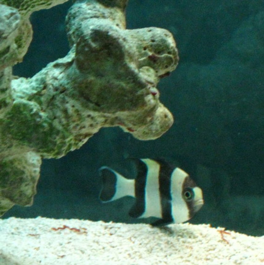 saltwater fish - dascyllus melanurus - four stripe damselfish stocking in 50 gallons tank - Black and Yellow Damsel