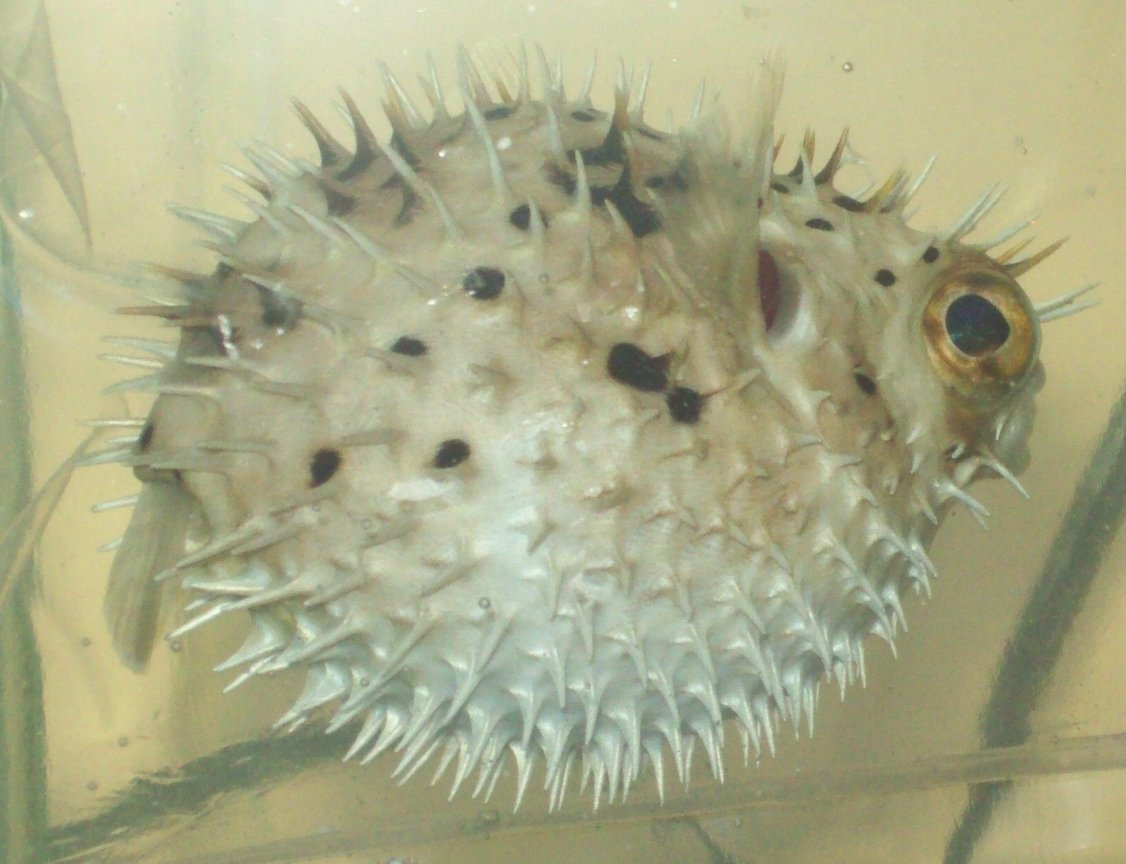 saltwater fish - diodon holocanthus - porcupine puffer stocking in 55 gallons tank - Porcupine Puffer (named Grim) Puffed up Diodon Holacanthus New2hobby