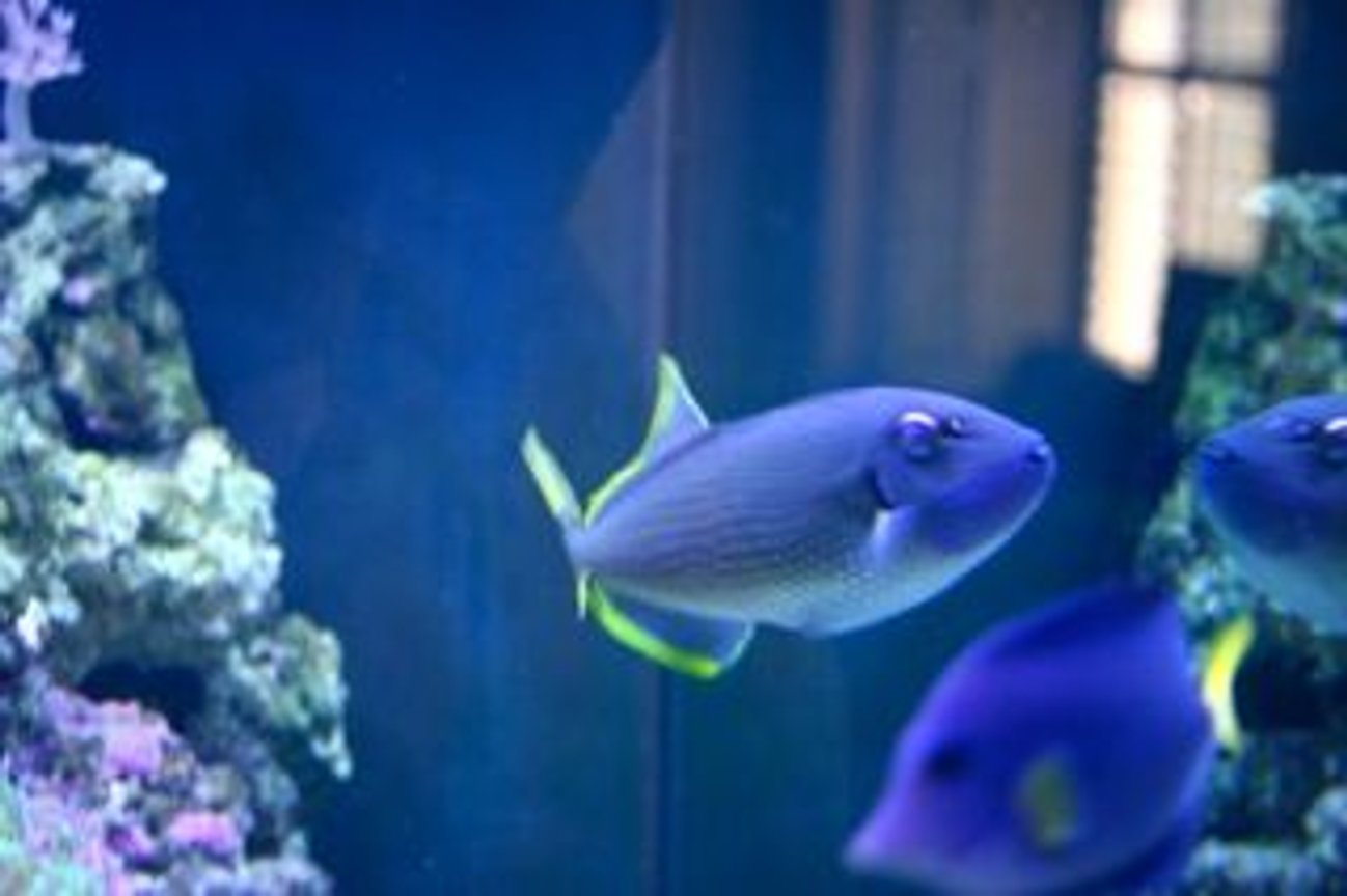 saltwater fish - odonus niger - niger triggerfish stocking in 210 gallons tank - Yeah, He is reef safe. So far.