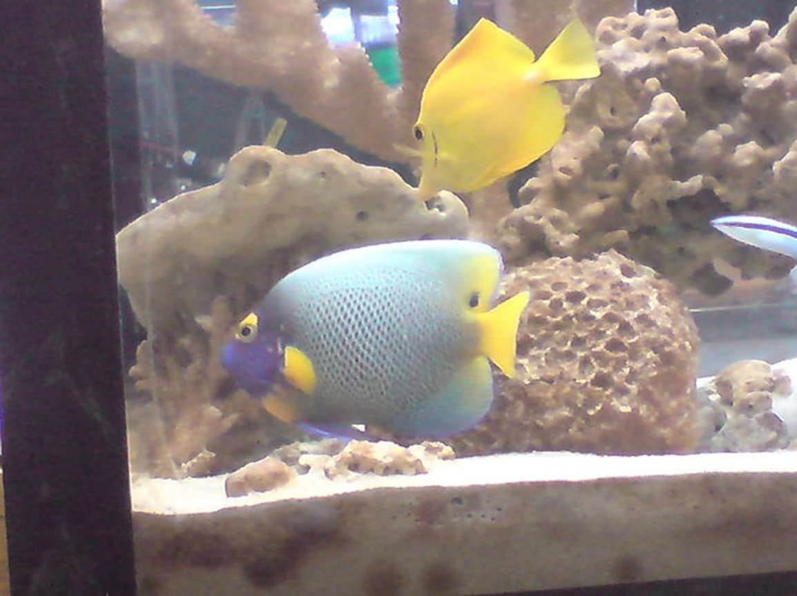 saltwater fish - pomacanthus xanthometopon - blueface angelfish stocking in 55 gallons tank - my 55 gallon tank