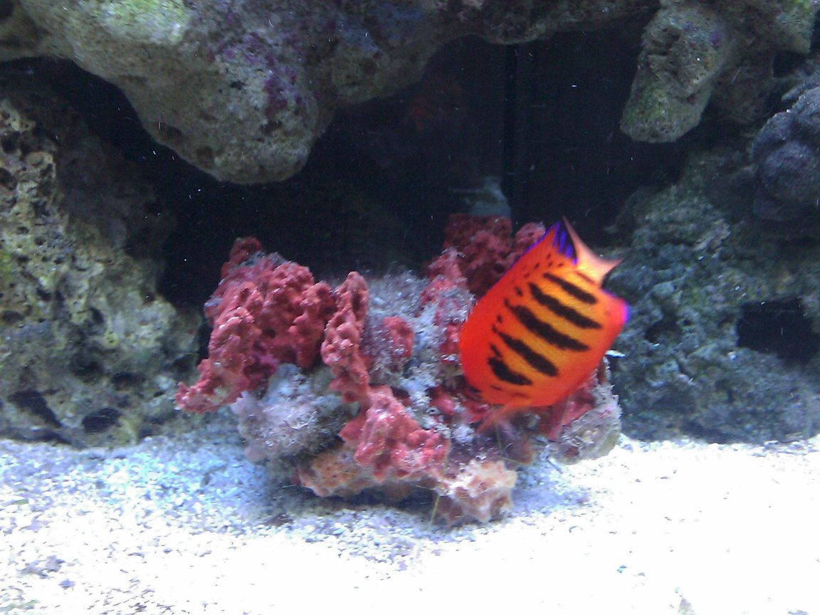 saltwater fish - centropyge loriculus - flame angelfish stocking in 55 gallons tank - Flame Angel & Spiney Oyster