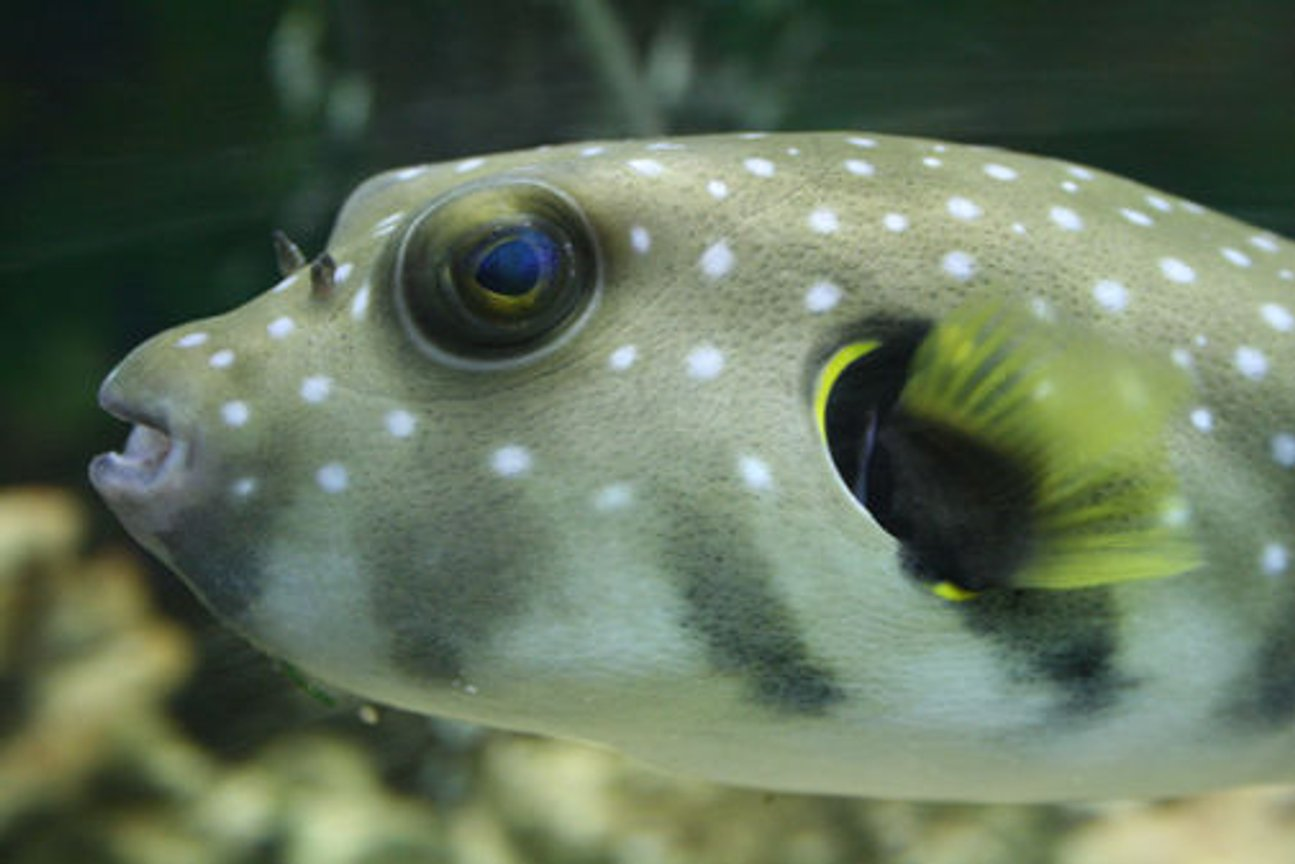 saltwater fish - arothron hispidus - stars and stripes puffer stocking in 220 gallons tank - Stars and Stripes puffer. He is a greedy boy, you can see his belly bulging after a large meal and he will take a lie down to rest! Lots of personality!