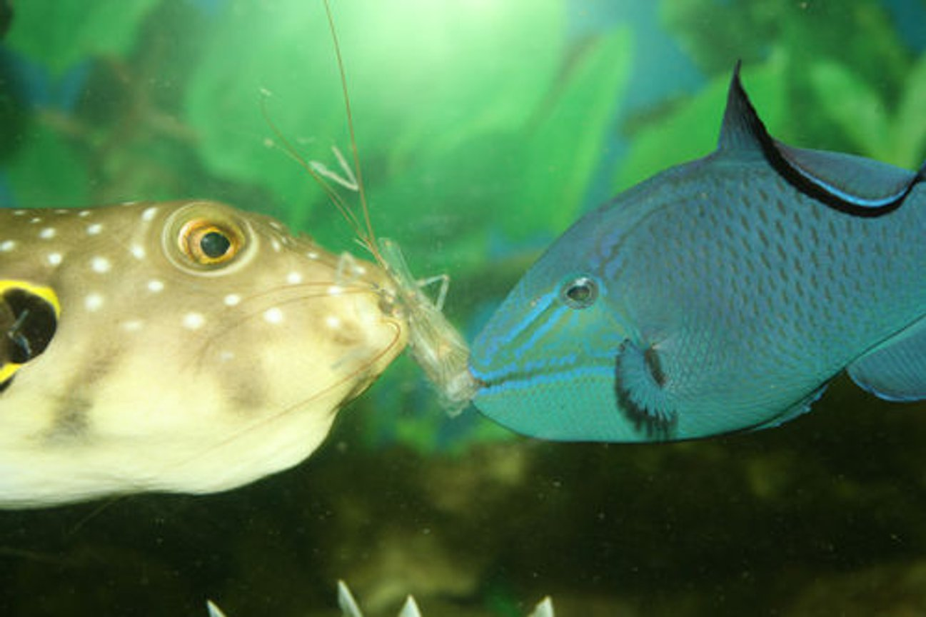 saltwater fish - odonus niger - niger triggerfish stocking in 220 gallons tank - Sharing a meal of live shrimp