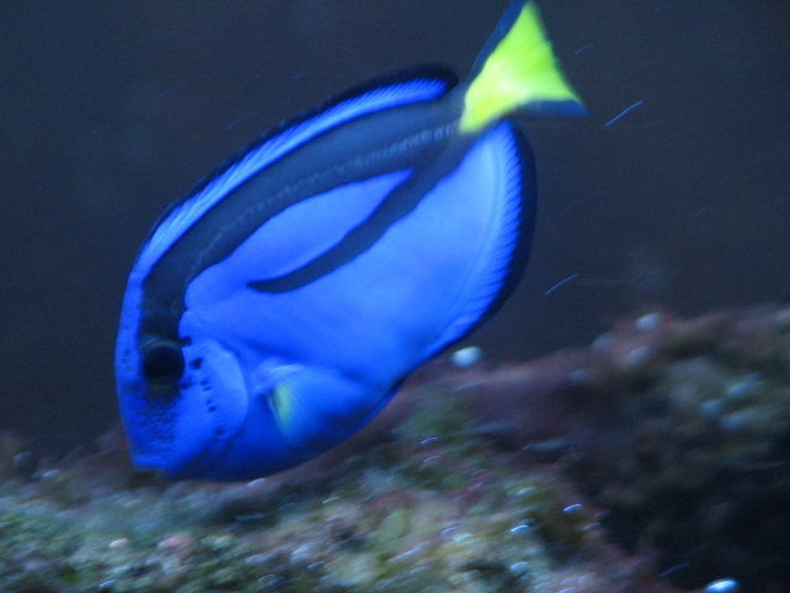 "saltwater fish - paracanthurus hepatus - blue tang stocking in 55 gallons tank - ""bubbles"" feeding on algae"
