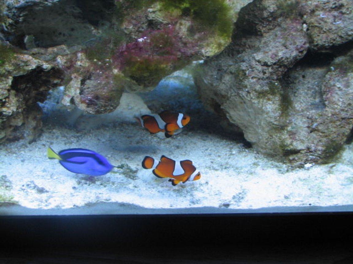 saltwater fish - paracanthurus hepatus - blue tang stocking in 55 gallons tank - 2clowns and hippo just hanging out
