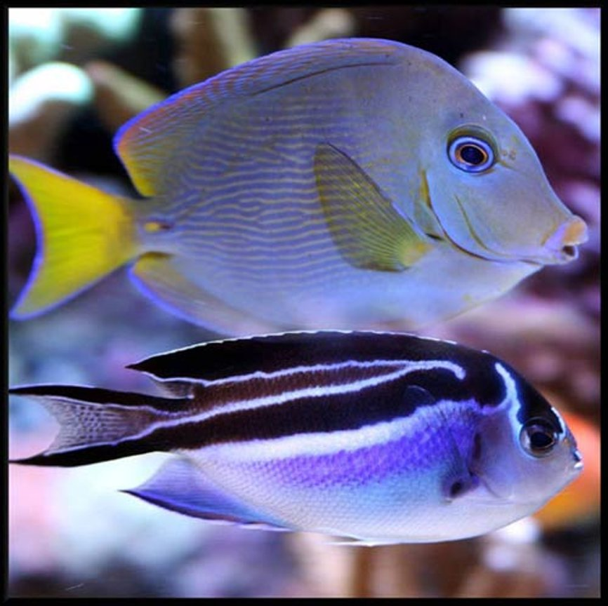saltwater fish - acanthurus coeruleus - atlantic blue tang stocking in 500 gallons tank - Atlantic blue tang and Bellus angel