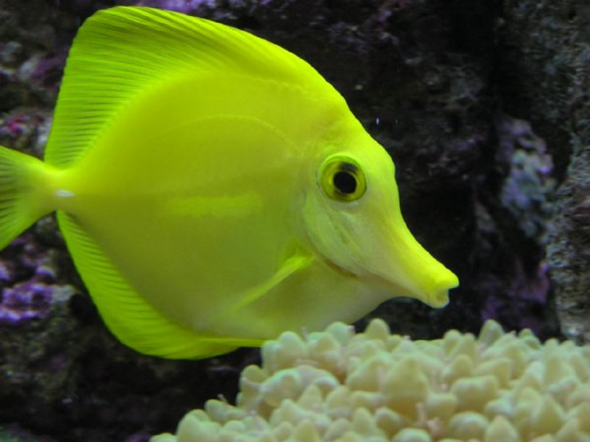 "saltwater fish - zebrasoma flavescens - yellow tang - hawaii - My 2 Year Old YellowTang 85g (uk) Bow Front Tank, 4x54 T5 Luminare / Deltec Aqua+ Tubes, Deltec MCE600 Skimmer, Eheim Pro 3 Ex-Filter, TMC UV15, Tunze 6060 / Maxi-Jet 1200 PH Combo, Auto Top-Up, 3 Stage 6"" DSB, Hydor ETH 300 heater."