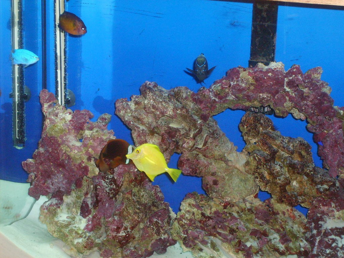 saltwater fish - zebrasoma flavescens - yellow tang - hawaii stocking in 55 gallons tank - Fish Pic