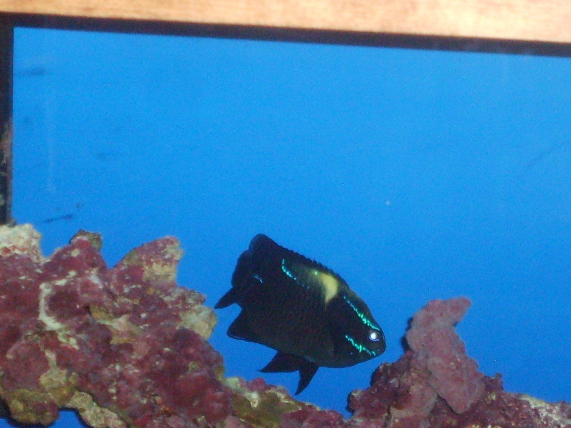 saltwater fish - neoglyphidodon oxyodon - black velvet damsel stocking in 55 gallons tank - Fish Pic